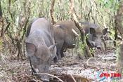 """[Video] Xem đàn lợn rừng hơn 100 con trong """"đầm lầy sa mạc"""" ở Hà Tĩnh"""