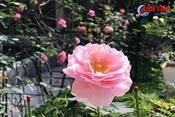 """""""Lạc lối"""" trong vườn hồng đẹp tựa châu Âu của cô giáo Hà Tĩnh"""