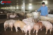 """Rủi ro khi người chăn nuôi lợn """"găm hàng"""" chờ giá"""