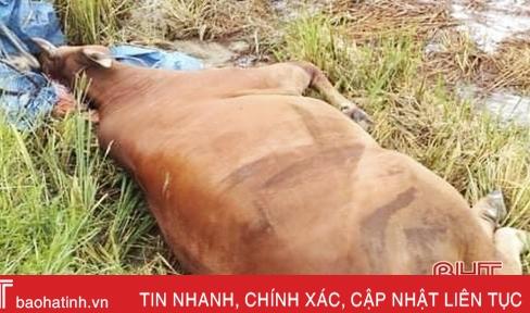 Bước đầu xác định nguyên nhân trâu bò chết hàng loạt tại xã Yên Hồ