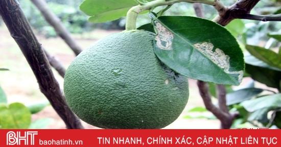 """Bưởi da xanh """"bén duyên"""" vùng núi Hương Sơn"""