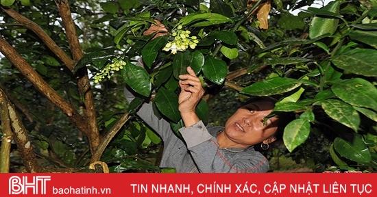 """Bưởi Phúc Trạch rộ hoa sớm, nông dân Hương Khê """"nóng ruột""""!"""
