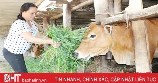 """Chăn nuôi đại gia súc: """"Việc nhẹ lương cao"""" ở huyện miền núi Hà Tĩnh"""