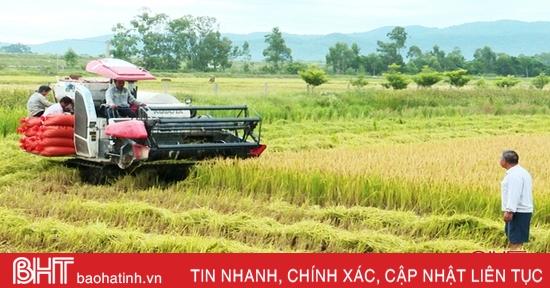 Đức Thọ sản xuất lúa chất lượng cao, thương lái thu mua ngay tại ruộng