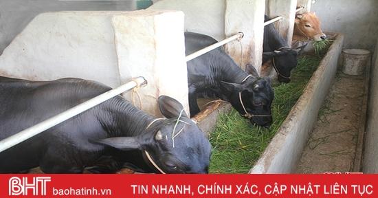 Giá bò tăng cao, nông dân Hà Tĩnh thu lợi lớn