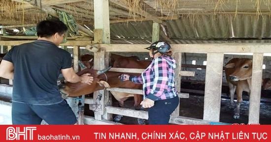 Hơn 11 nghìn trâu, bò ở Vũ Quang được tiêm phòng bệnh lở mồm long móng