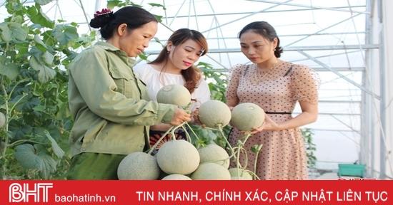 HTX trồng dưa lưới đầu tiên ở Can Lộc thu gần 1,6 tỷ đồng sau 4 đợt cắt quả