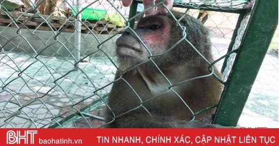 Kiểm lâm Lộc Hà bàn giao khỉ mặt đỏ để thả về môi trường tự nhiên