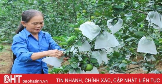 """Nông dân Vũ Quang thu hoạch sớm 4.000 tấn cam """"chạy"""" bão số 9"""