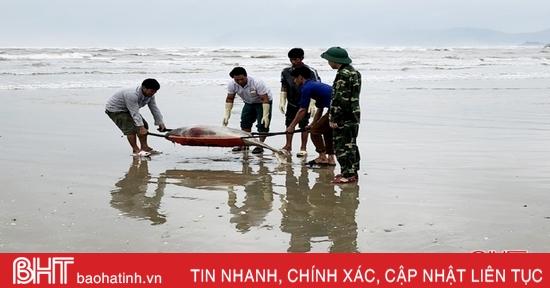Phát hiện xác cá voi trôi dạt bờ biển thị xã Kỳ Anh