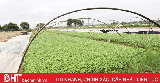 Rau, hoa giữ thế chủ lực trong sản xuất vụ đông ở TP Hà Tĩnh