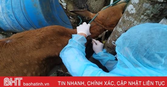 Tìm ra nguyên nhân bệnh lạ trên trâu bò ở Hà Tĩnh