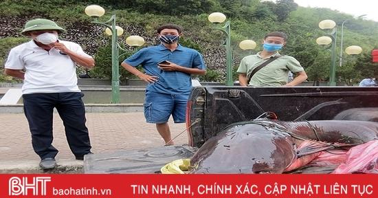 Vận chuyển cá lăng khủng từ Lào về Việt Nam