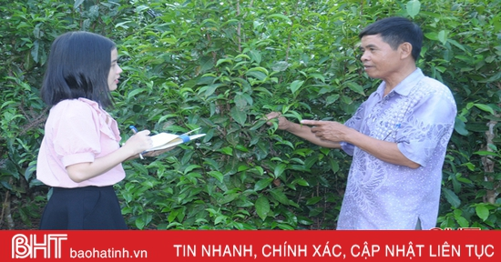 Xây dựng thương hiệu cho vùng chè xanh cổ thụ ở Hà Tĩnh