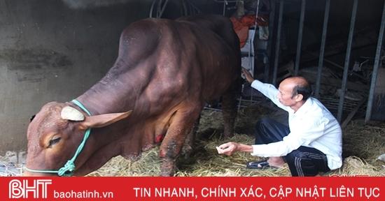 Xuất hiện tình trạng bò bị nấm chân, cước chân sau mưa lũ ở Hà Tĩnh
